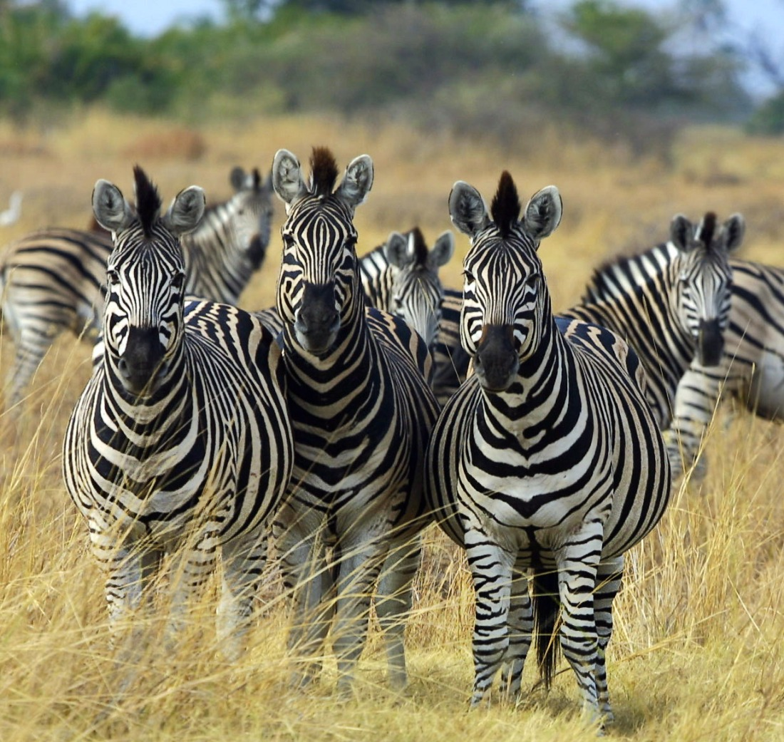 Zebra_Botswana_edit02.jpg